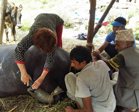 Dr Bronwen Evan removing a leg cast from this buffalo