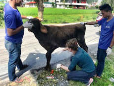 Byron, the bull-calf, being examined by HART staff