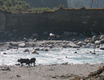 The cattle are free to wander down to the river