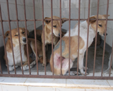 Post-op recovery in Animal Nepal's kennels