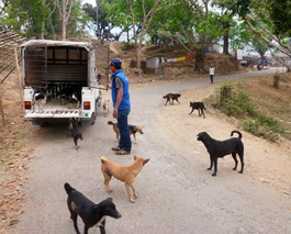 A batch of Dharan roaming dogs being returned to their home territory