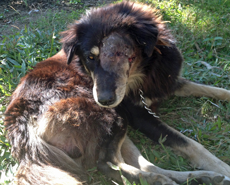 HART's Dr Yugal and visiting vet, Dr Donald Gillon, operated to remove the left eye of this dog, nicknamed Mr Grumpy