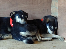 Dogs recovering from their sterilization operation