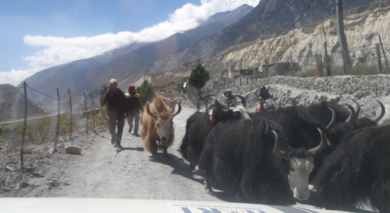 Close encounter with a herd of yaks near Jomsom