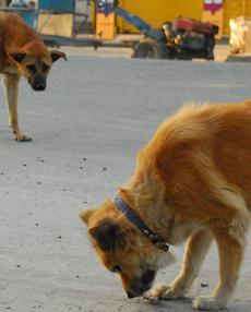 Pokhara dogs