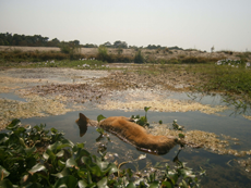 One of the victims of the Sauraha dog poisoning campaign