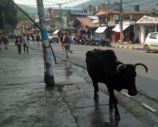The cow is now regularly seen roaming the streets of Pokhara